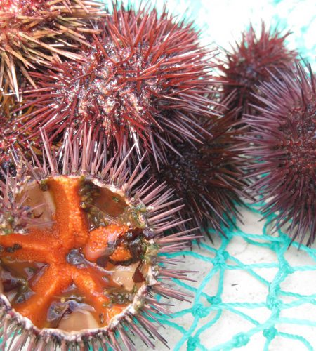 sea-urchins-1239013_1280